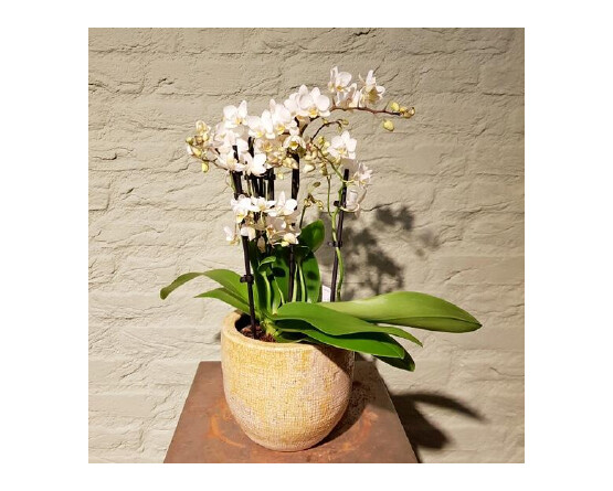 Orchidee wit