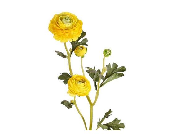 Ranonkel geel