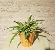 Kleine Chlorophytum