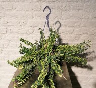 Aeschynanthus 'Lipstickplant'